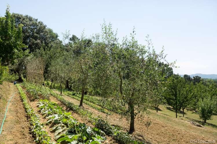 Bildet viser en grønnsakshage i vekst i Toscana i juni. Der er planter av tomat, squash og salat. Det er satt opp bambusstokker for å støtte opp tomatplantene. Grønnsakshagen ligger på en olivengård ved landsbyen Fauglia.