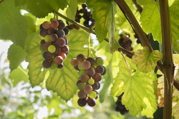 Bildet viser modne vindruer på vinranke på en av våre vingårder i Toscana. Bildet er brukt på websiden sitoscana.no som bilde til kategorien: Bosteder på vingård.