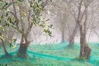 Bildet viser en olivenlund på en regntung desemberdag. Fra en olivenlund i Toscana.