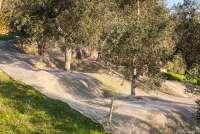 Bildet viser oliventrær i en olivenlund. Under trærne er det lagt ut hvite plastnett for å samle opp olivenene som ramler ned.