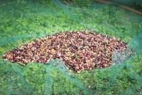 Bildet viser oliven samlet i et nett, klar for å tømmes i kasse.
