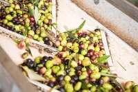 Bildet viser oliven på et transportbånd inne i en olivenmølle, på vei til pressing.