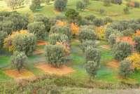 Bildet viser en olivenlund hvor det er klart for å starte innhøstingen. Under oliventrærne ligger nett som skal fange opp oliven som ramler ned fra trærne.