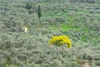 Bildet viser et blomstrende, knallgult oliventre i en sølvskimrende olivenlund i nærheten av middelalderbyen Montemagno, like utenfor Pisa i Toscana.