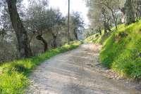 Bildet viser en vei gjennom en olivenlund. Like utenfor middelalderlandsbyen Montemagno ved Pisa i Toscana.