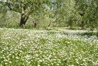 Bildet viser olivenlund full av små, hvite blomster. Bildet er fra Toscana.