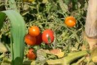 Bildet viser en tomatplante med modne tomater. Tomatplanten står i en grønnsakshage i Toscana.