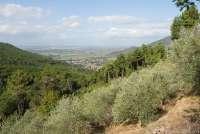 Bildet viser en olivenlund i bratt terreng. I bakgrunnen skimtes Pisa og strendene ved Middelhavet.