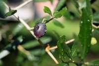 Bildet viser moden oliven på en grein.
