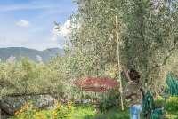 Bildet viser kvinne som høster oliven med bruk av rake. Bildet er fra en olivengård i Toscana.
