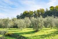 Bildet viser en olivenlund i Toscana. Det er oktober og like før innhøstingen starter.