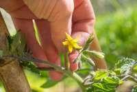 Bildet viser en hånd som holder i stilken på en tomatplante i blomst. Det er sol og grønnsakshagen hvor tomatplanten vokser ligger i Toscana.