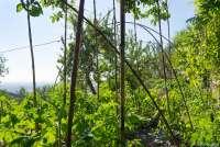 Bildet viser en frodig grønnsakshage i juni. Hagen ligger i åssiden av fjellet Monte Pisano like utenfor Pisa.