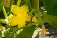 Bildet viser en agurkplante i blomst med en liten agurk.