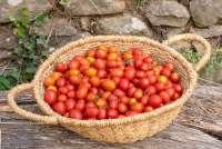 Bildet viser en bastkurv full av nyplukkede tomater. Bakom skimtes en steinmur.