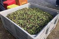 Bildet viser en kasse full av oliven klar for pressing. Bildet er fra olivenmølla i Caprona, like utenfor Pisa.